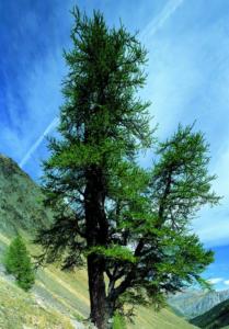 alberi monumentali larice